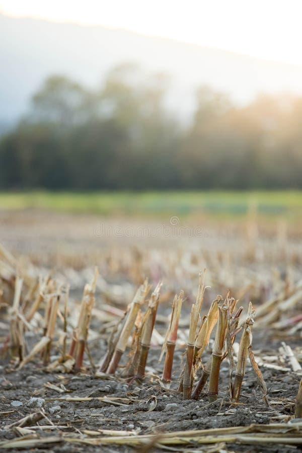 Gatherd-Maisfeld im Herbst stockfotos