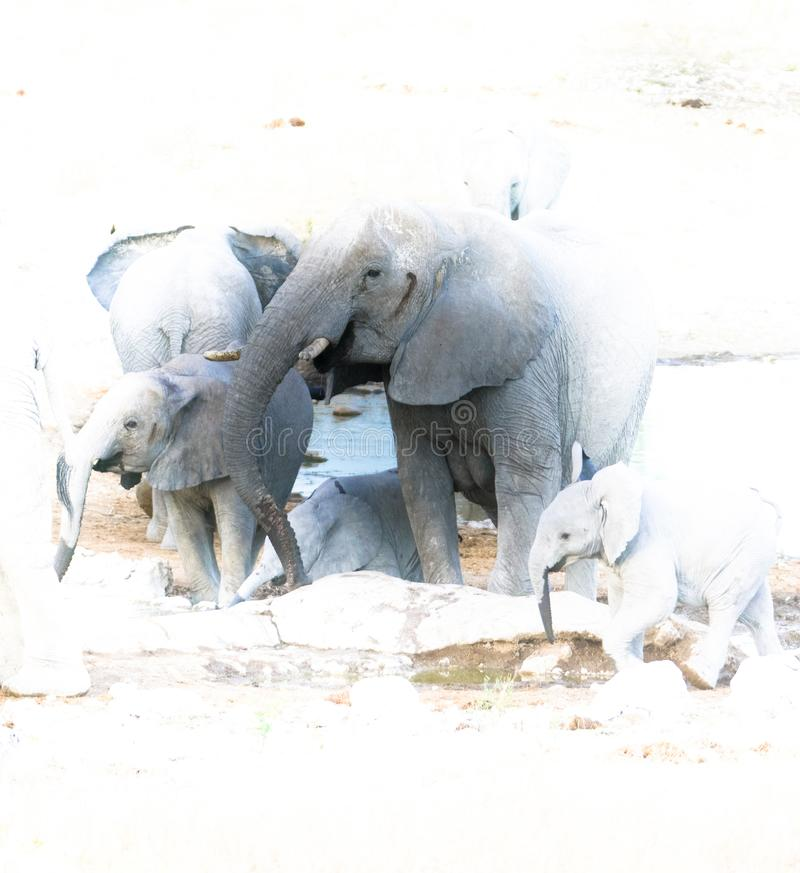 gatherering大象的家庭 库存图片
