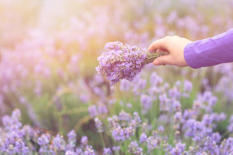 Gathering a bouquet of lavender. Beautiful girl holding a bouquet of fresh lavender in lavender field. Sun, sun haze, glare. Purpl royalty free stock images