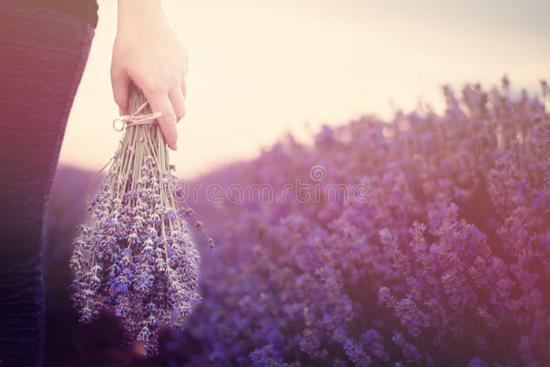 Gathering a bouquet of lavender. Girl hand holding a bouquet of fresh lavender in lavender field. Sun, sun haze, glare. stock photography