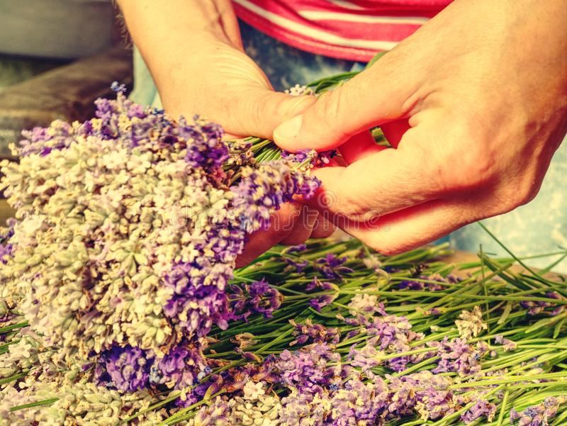 Gathering a bouquet of lavender. Girl hands hold bouquet stock photos