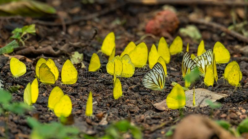 Gathering of Common Grass Yellow and Common Gull butterfly on damp soil royalty free stock photography