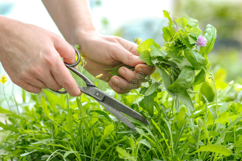 Gathering fresh herbs in the garden royalty free stock images