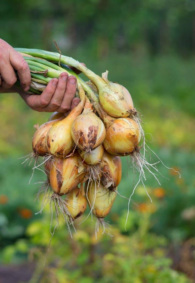 Gathering onions stock photo