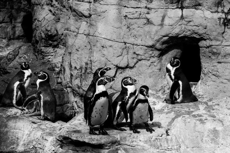 Penguins having a meeting stock photography