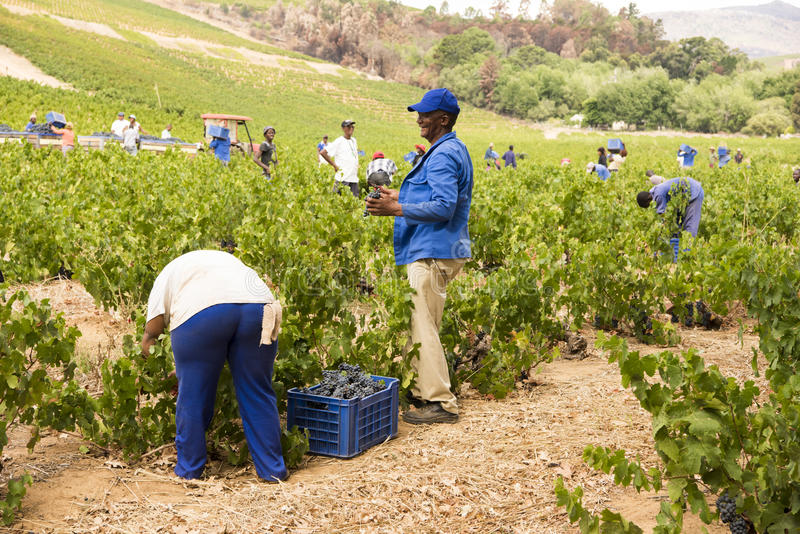 Gathering wine in Stellenbosch, South Africa royalty free stock image