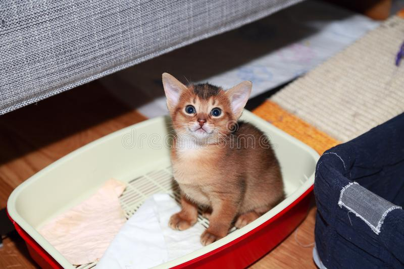 Gatinho Abyssinian engraçado durante acostumar-se à bandeja do gato fotos de stock