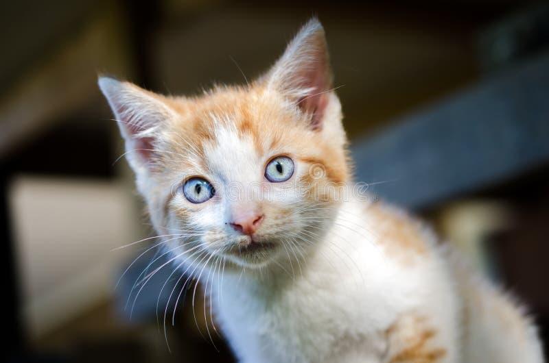 Gatinho alaranjado e branco do gato malhado com olhos azuis imagens de stock