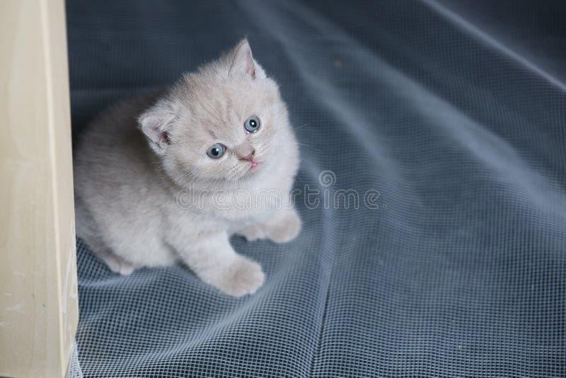 Gatinho azul de Ingleses Shorthair que descansa em uma rede branca imagem de stock