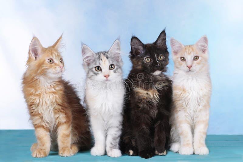 Gatinho bonito de quatro Maine Coon fotografia de stock royalty free