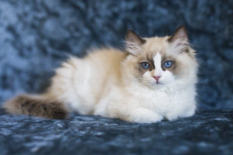Gatinho bonito de Ragdoll fotografia de stock