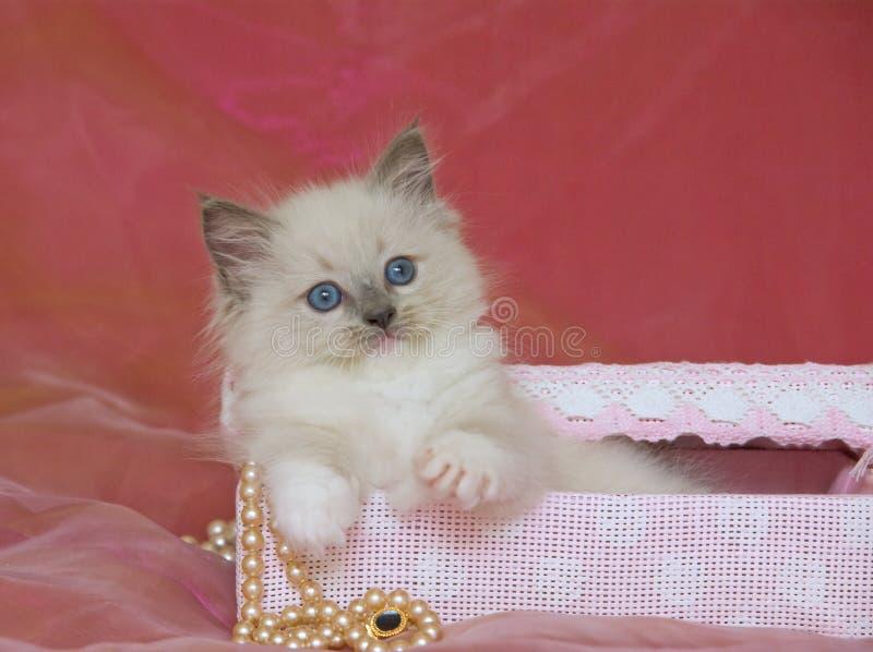 Gatinho bonito de Ragdoll na caixa de presente com pérolas fotos de stock royalty free