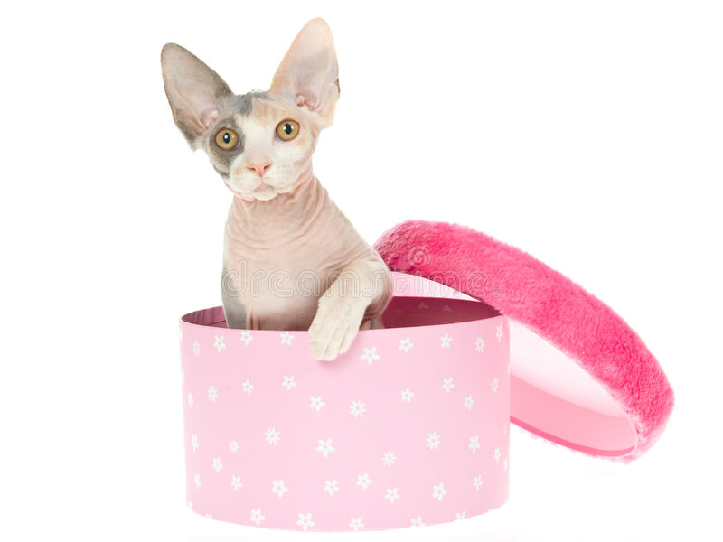 Gatinho bonito de Sphynx na caixa de presente cor-de-rosa fotos de stock royalty free