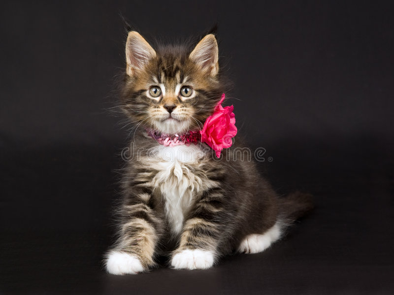 Gatinho bonito do Coon de Maine com colar da garganta foto de stock royalty free