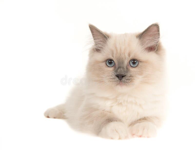 Gatinho bonito do gato do bebê do ragdoll com os olhos azuis que encontram-se para baixo, isolat fotos de stock