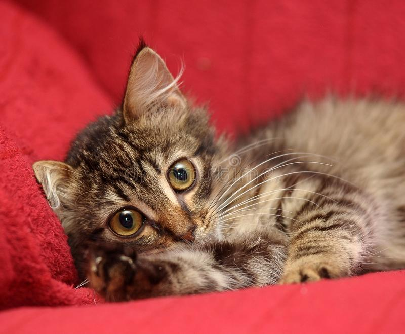 Gatinho bonito macio com um olhar filosófico foto de stock royalty free