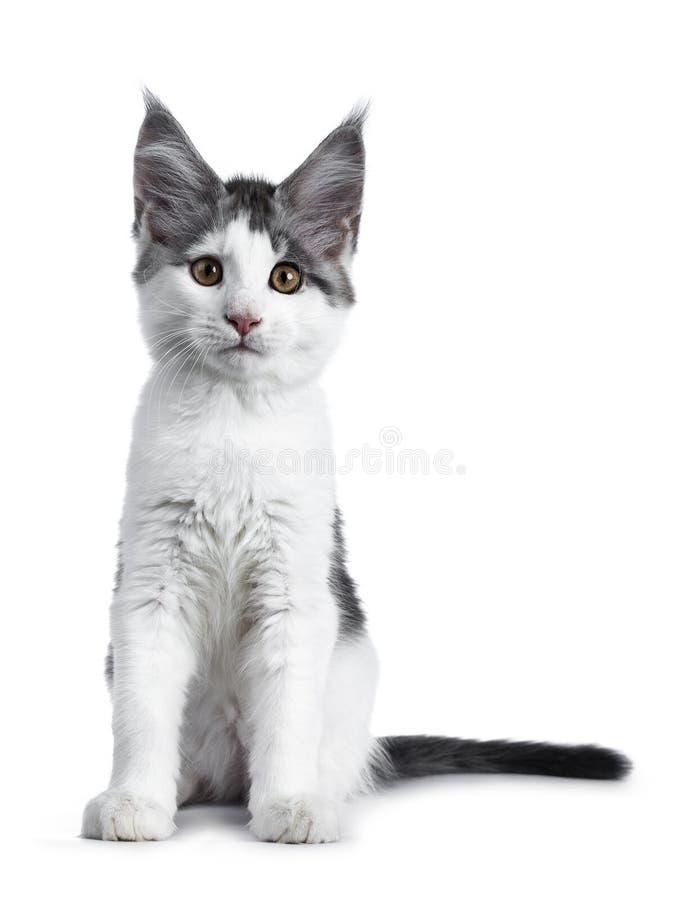 Gatinho branco alto do gato de racum de maine do arlequim do gato malhado azul tímido que senta-se enfrentando a parte dianteira, fotos de stock royalty free