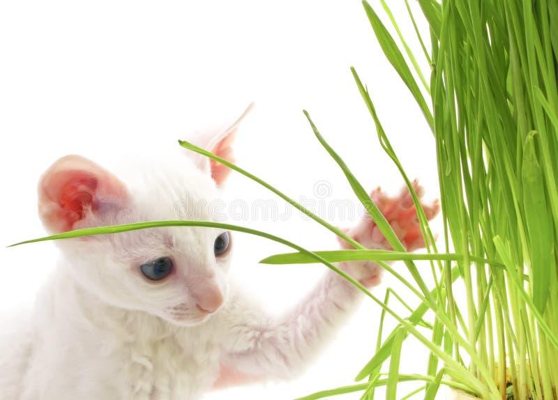 Gatinho branco bonito que joga com grama imagens de stock
