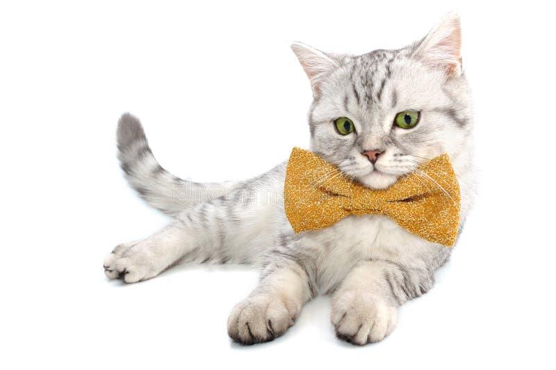 Gatinho branco de prata do gato de tabby fotos de stock royalty free