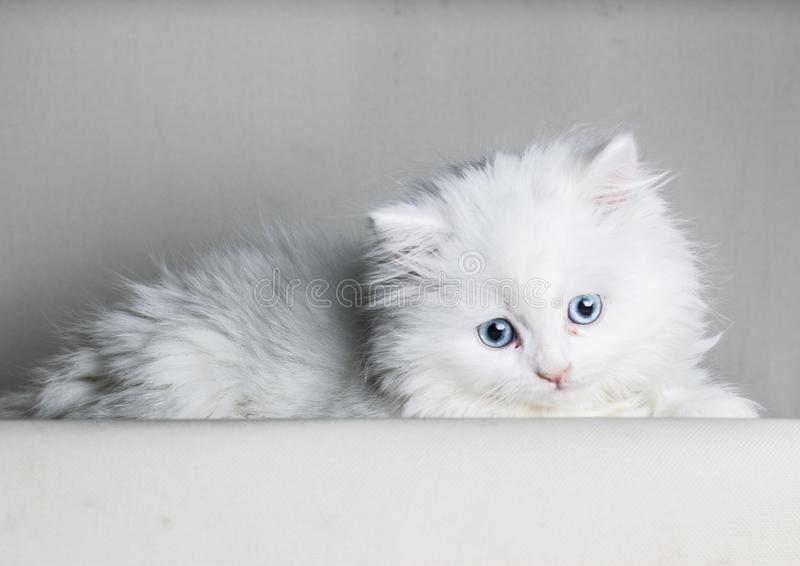 Gatinho branco do gato persa que encontra-se para baixo olhando a câmera isolada no backgrownd branco - espaço do texto para baix foto de stock