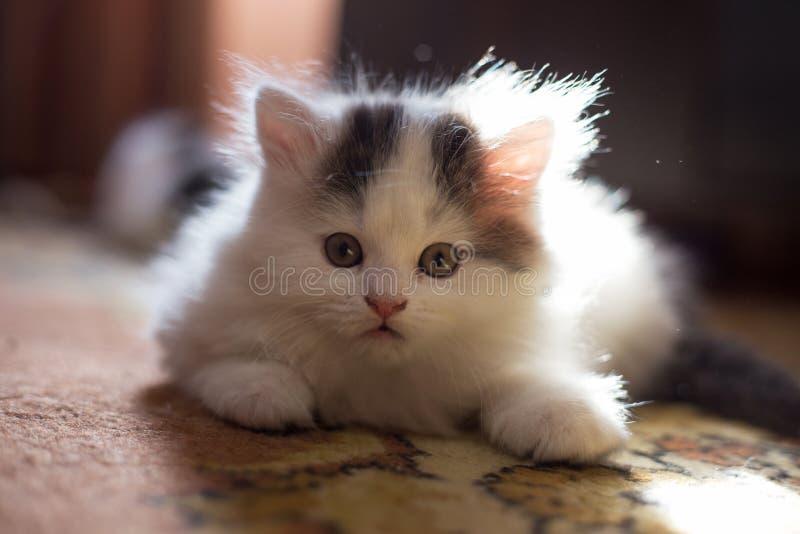 Gatinho branco macio, com orelhas de suspensão Close-up bonito, amado, bonito do gatinho Dobra do Scottish Vaquinha em um ajuste  imagem de stock royalty free