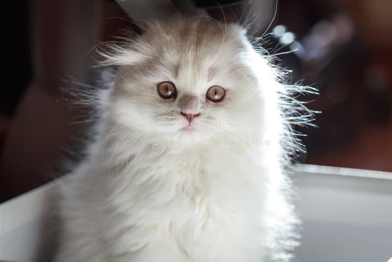 Gatinho branco macio, com orelhas de suspensão Close-up bonito, amado, bonito do gatinho Retrato de um gato Dobra do Scottish Vaq imagem de stock