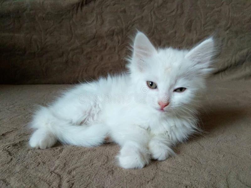 Gatinho branco macio pequeno bonito fotografia de stock royalty free