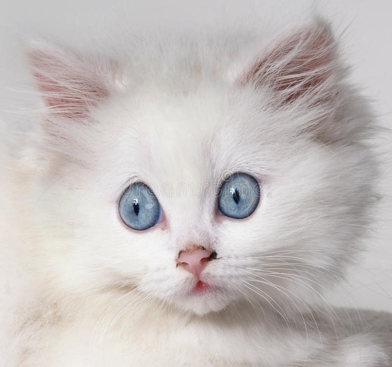 Gatinho branco surpreendido foto de stock royalty free