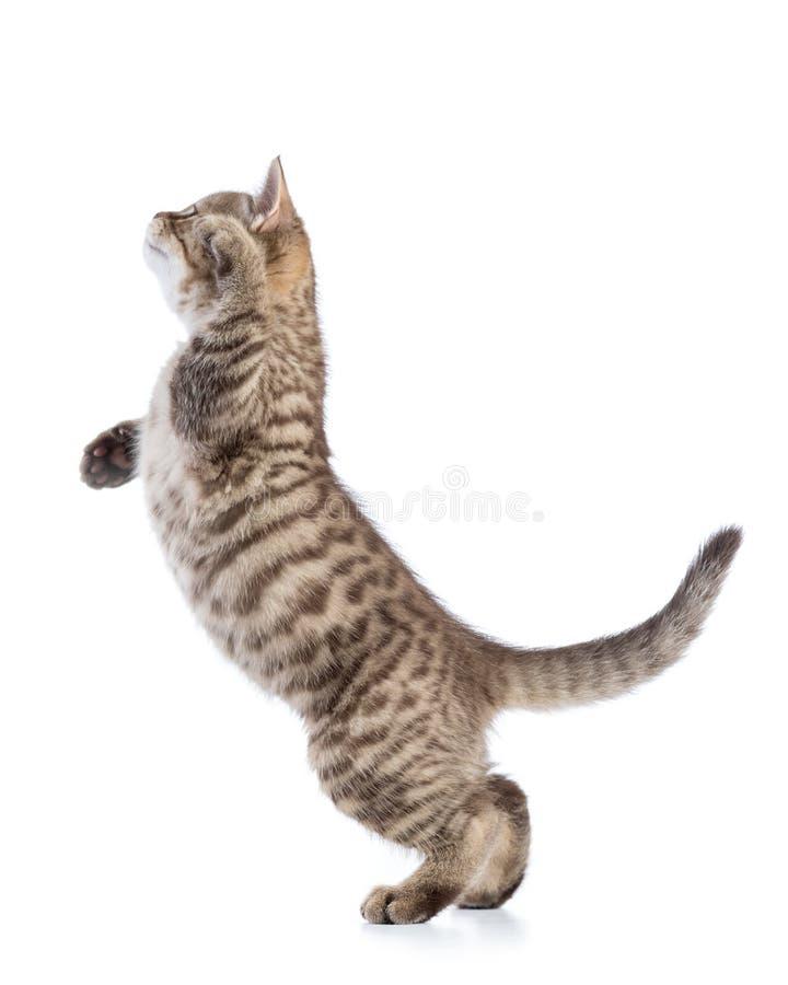 Gatinho brincalhão do gato de gato malhado no perfil, isolado no fundo branco fotos de stock royalty free