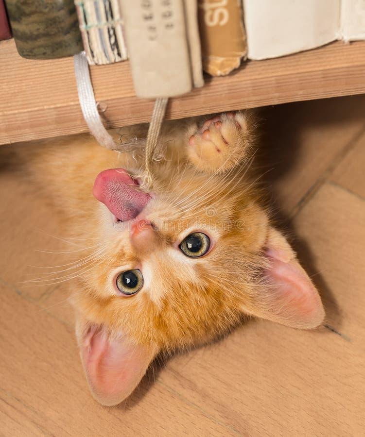 Gatinho brincalhão do gengibre com língua cor-de-rosa Gato doméstico 8 semanas velho Catus dos silvestris do Felis imagens de stock