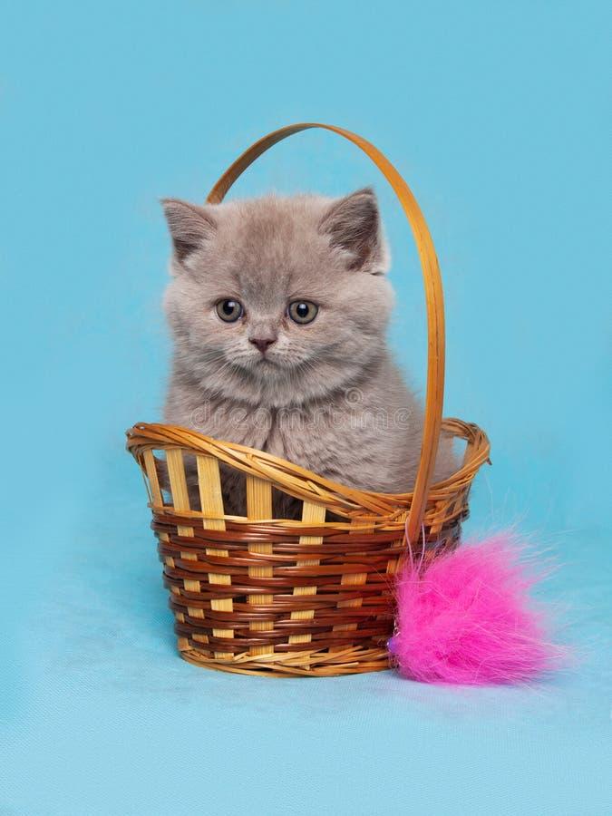 Gatinho britânico de Shorthair que senta-se em uma cesta de vime fotos de stock royalty free