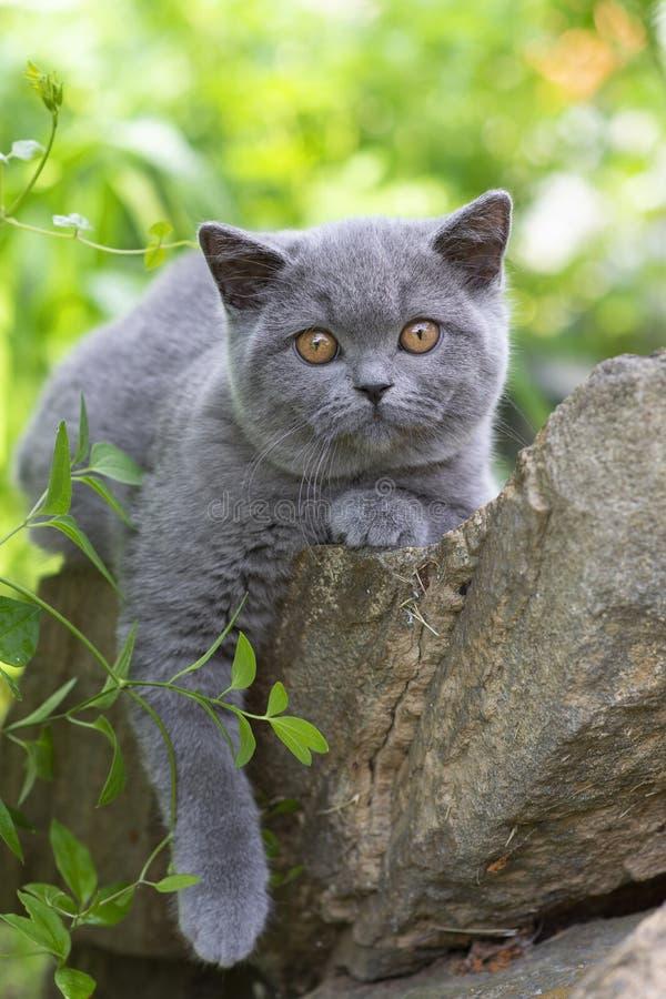 Gatinho britânico do shorthair que encontra-se no jardim em uma rocha e que olha na câmera fotografia de stock