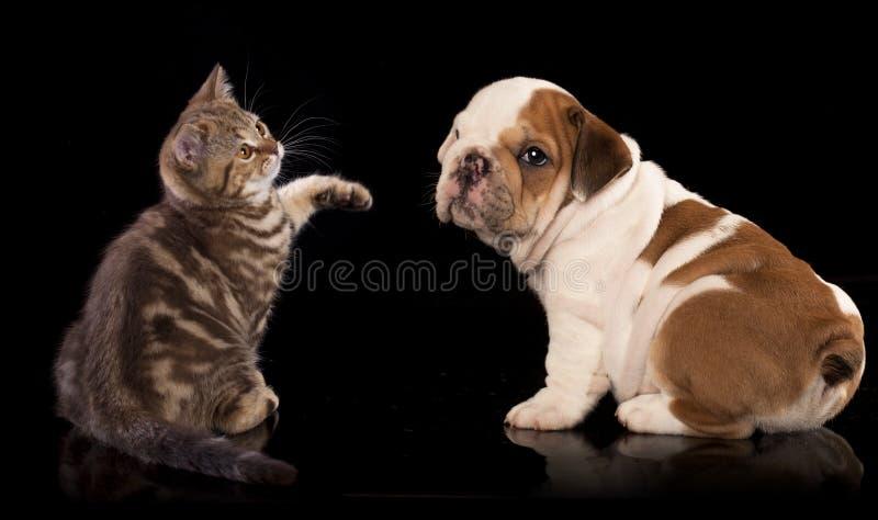 Gatinho britânico e cachorrinho inglês do buldogue foto de stock