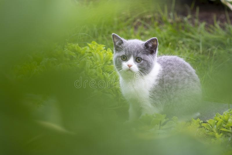 Gatinho britânico que esconde na grama e nas borboletas de travamento O conceito das caminhadas no ar fresco foto de stock royalty free