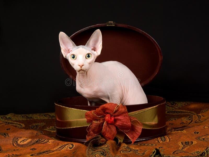 Gatinho calvo bonito de Sphynx na caixa de presente imagem de stock royalty free