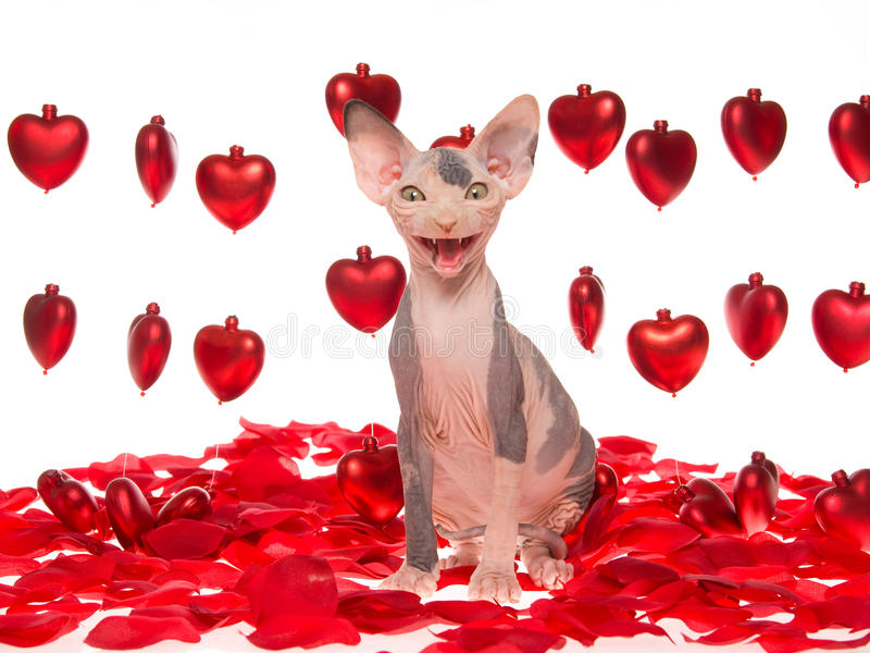 Gatinho calvo de riso de Sphynx com corações vermelhos imagens de stock
