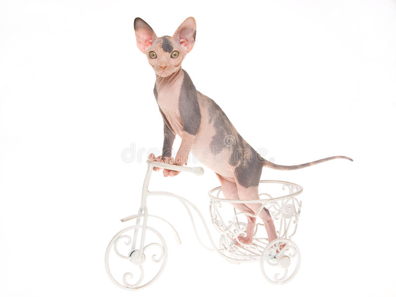 Gatinho calvo de Sphynx na mini bicicleta na BG branca foto de stock