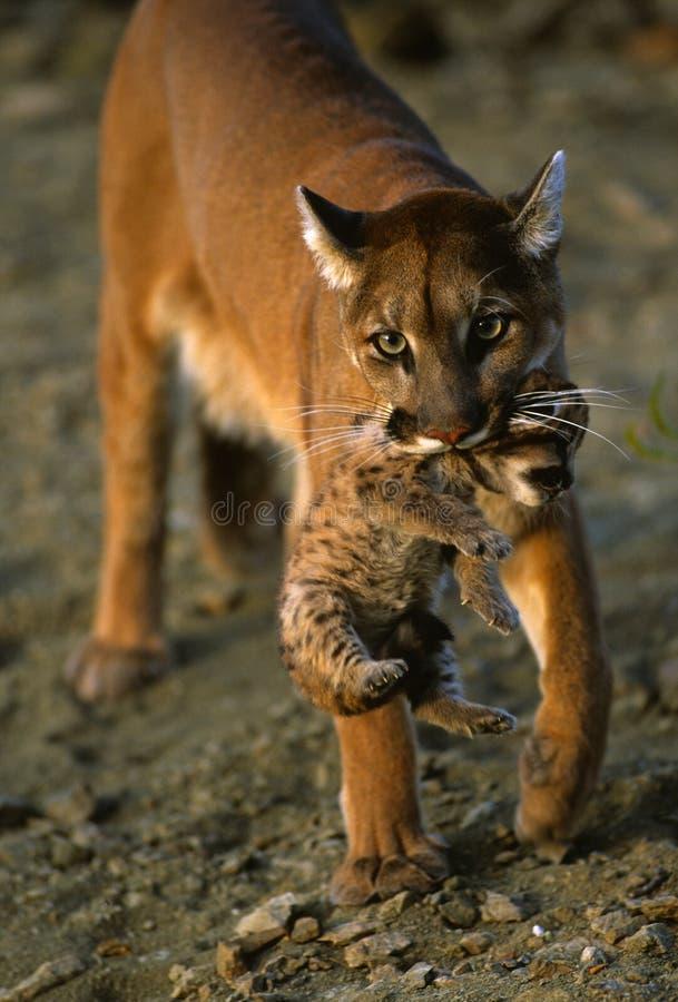 Gatinho carreg do leão de montanha fotografia de stock