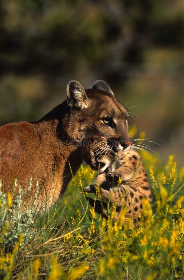 Gatinho carreg fêmea do leão de montanha imagem de stock