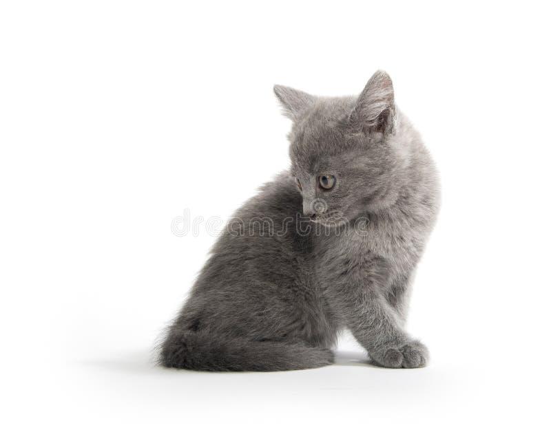 Gatinho cinzento bonito no branco fotografia de stock royalty free