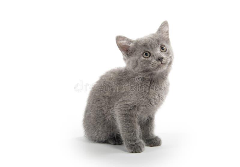 Gatinho cinzento bonito no branco fotos de stock royalty free