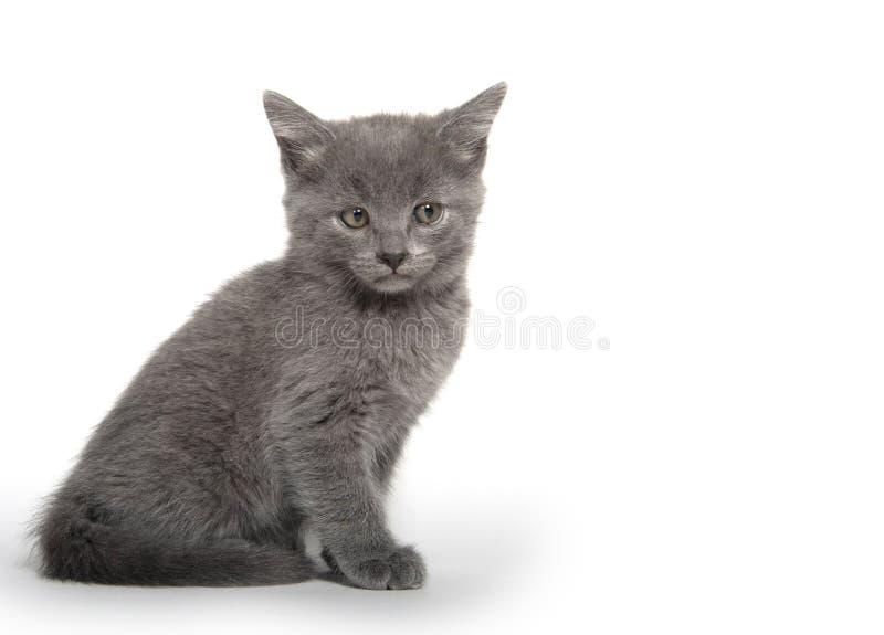 Gatinho cinzento bonito no branco fotografia de stock