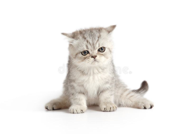 Gatinho cinzento-branco pequeno foto de stock
