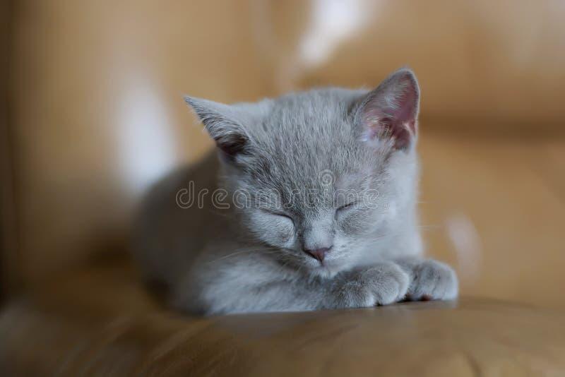 Gatinho cinzento do sono imagem de stock