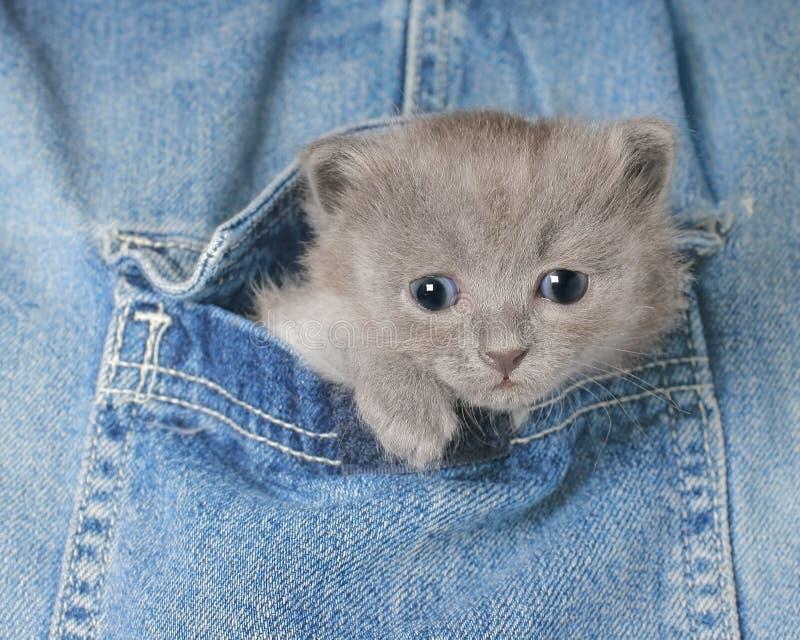 Gatinho cinzento pequeno no bolso das calças de brim imagem de stock royalty free
