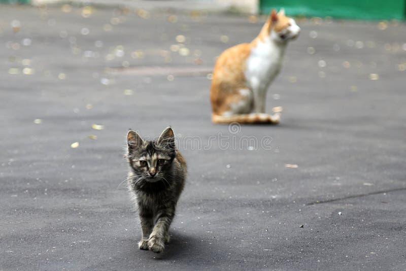 Gatinho cinzento que anda na rua do thу Seu gato da mãe no fundo imagens de stock