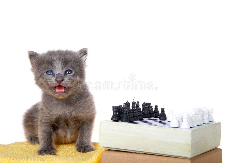 Gatinho com um grupo de xadrez imagem de stock