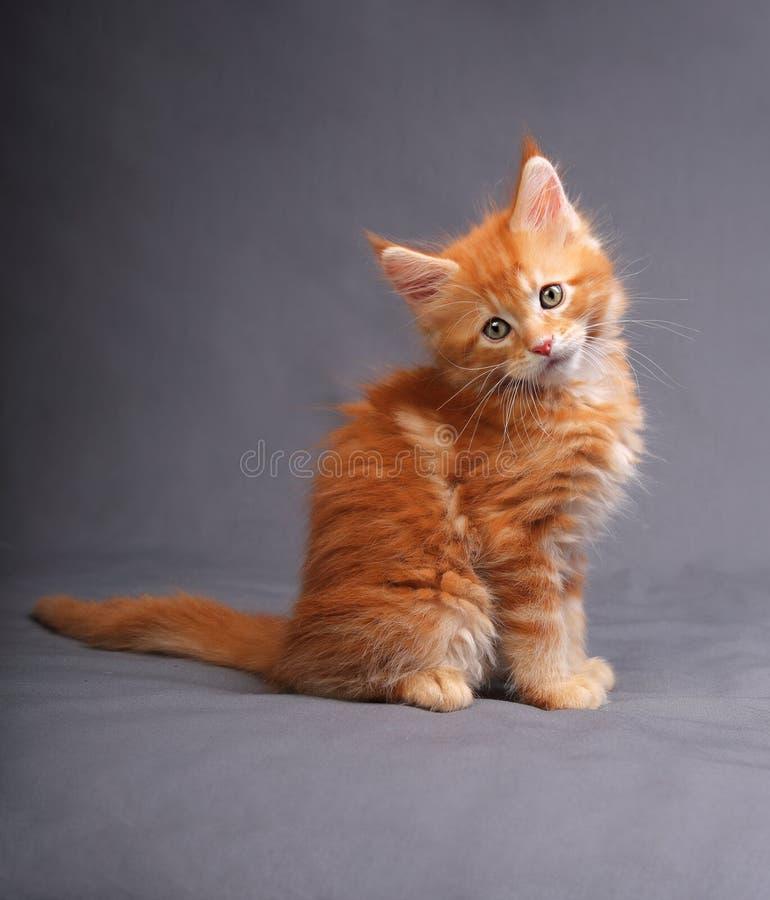Gatinho contínuo vermelho adorável engraçado do racum de maine que senta-se com beautifu imagens de stock