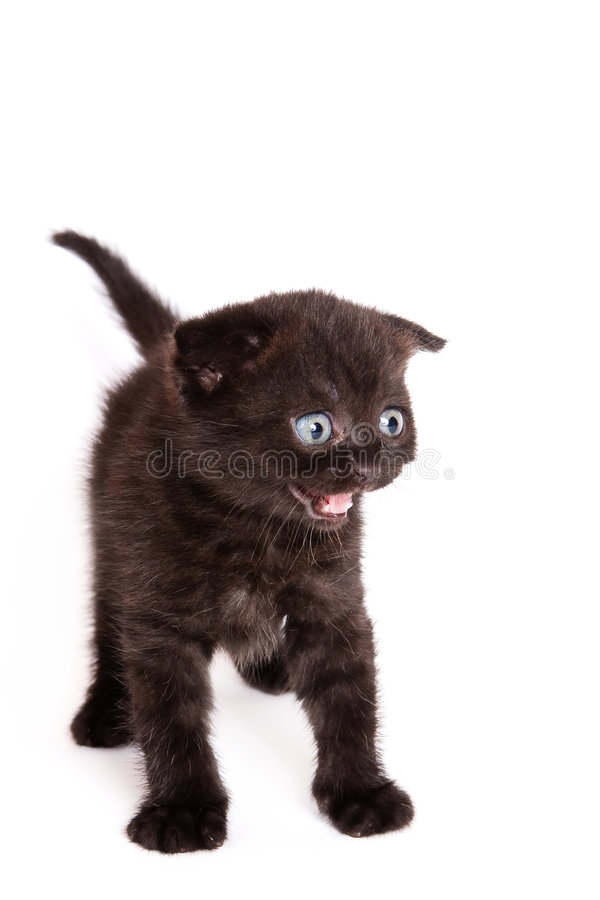 Gatinho da dobra do Scottish imagem de stock royalty free