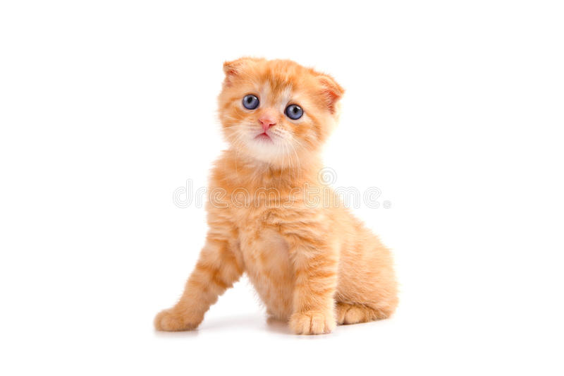 Gatinho da dobra do Scottish isolado no fundo branco foto de stock royalty free